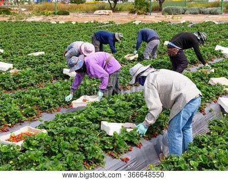 Farm Workers Picking Ripe Strawberries Into Small White Boxes.