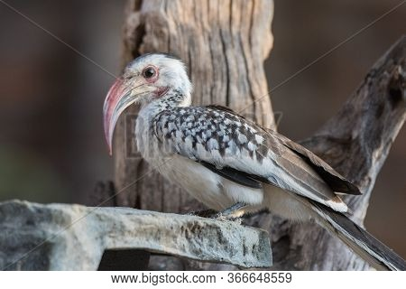 Portrait Of A Beautifull Northern Red-billed Hornbill, With Huge Beak Sitting On The Branch. Namibia