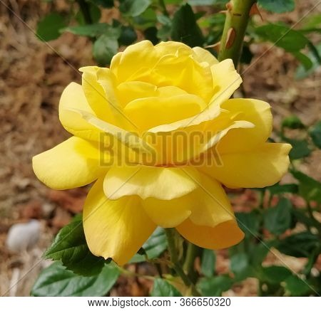 Yellow Rose In Bloom With Blurred Background. Delicate Petals. Close Up. Gloriously Magnificent Roma