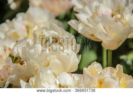 White Tulips Against Green Foliage. Pink Tulips Field. Flowers In Spring Blooming Blossom Scene. Pin