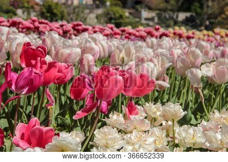 Pink Tulips Against Green Foliage. Pink Tulips Field. Flowers In Spring Blooming Blossom Scene. Pink