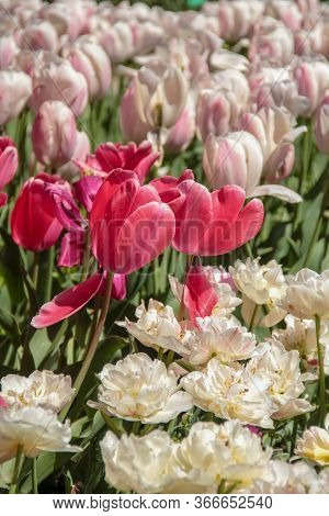 Pink Tulips Against Green Foliage. Pink And White Tulips Field. Flowers In Spring Blooming Blossom S