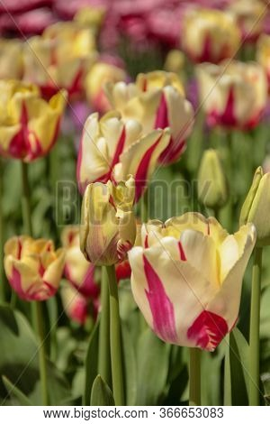 Pink And Yellow Multi-colored Tulips Against Green Foliage. Pink Tulips Field. Flowers In Spring Blo