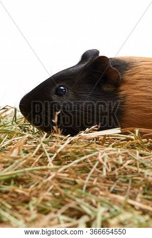 Muzzle Of A Guinea Pig Close-up. The Pet Lies On The Hay. Studio Portrait Of Guinea Pig Isolated On