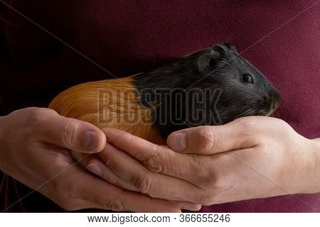 Guinea Pig Cavia Porcellus Is A Popular Pet. The Pet Sits In The Hands Of A Man On The Background Of