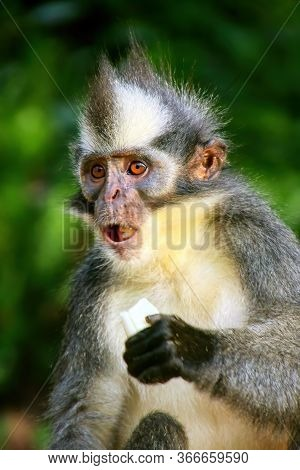 Thomas Leaf Monkey (presbytis Thomasi) Eating Banana, Gunung Leuser National Park, Bukit Lawang, Sum
