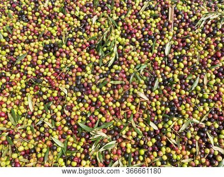 Massive Amount Of Fresh Harvested Olives In A Trailer