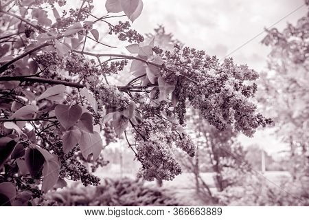 Lilac Branches With Blossoms In Spring. Black White.