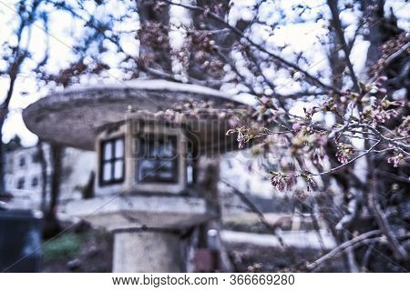 A Branch Of Sakura Tree With Buds About To Blossom At A Shinto Shrine With A Traditional Stone Lante