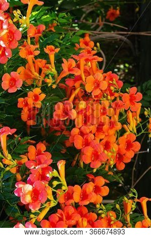 Campsis Grandiflora, With Large, Orange, Showy Trumpet-shaped Flowers, Close Up. Chinese Trumpet Cre