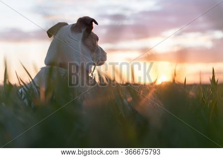 Jack russel terrier on green field on sunset time. Happy Dog with serious gaze
