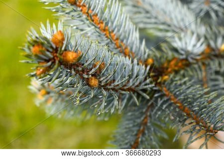 Spiny Coniferous Branches Close-up. Nature After The Rain. Pine Needles