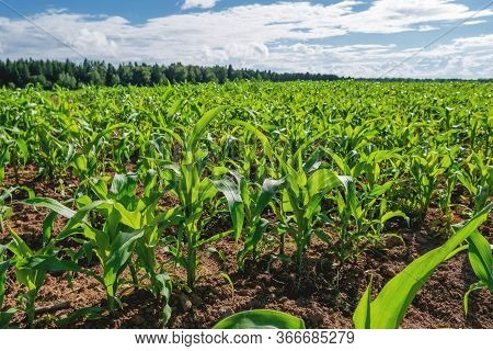 Agricultural Field Entirely Sown With Corn. Young Corn Seedlings In A Field On A Sunny Summer Day.