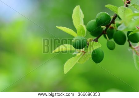 Green Blackthorn Fruits Sloe Or Prunus Spinosa On Tree Branch