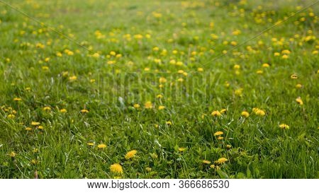 Spring Field With Yellow Dandelions. View Of Wild Flowers.