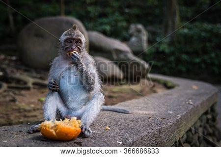A Long Tailed Grey Monkey Sitting And Eating A Fresh Orange, Ubud Monkey Forest, Bali, Indonesia