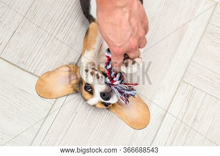 Beagle Puppy Plays With Toy At Home And Hands. Joyful. Life Style.  Flat Lay