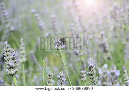 Bumblebee Collecting Nectar On Lavender Flowers In Sunny Rays. Bumblebee On Flower Of Beautiful Lave