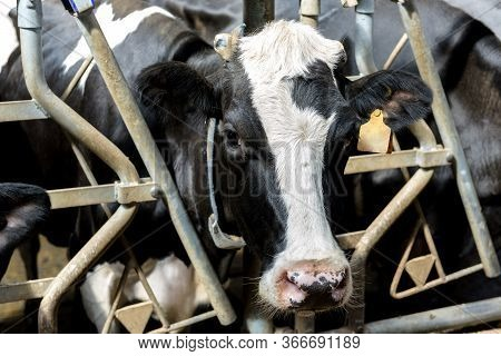 Milking Cow In Modern Dairy Farm Looks At Camera, Close-up.