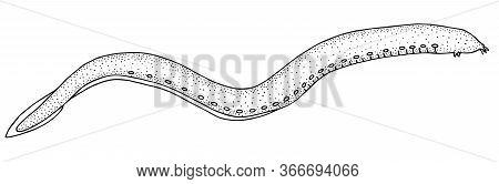 Atlantic Hagfish. Sea Fish. Black And White Hand Drawn Vector Illustration.