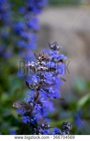 A Picture Of Some Ajuga Blooming In The Garden.     Vancouver Bc Canada