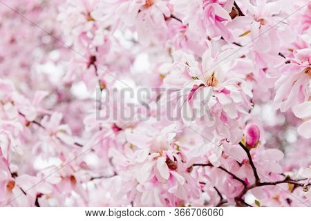 Delicate Pink Magnolia Flowers. Spring Blossom Background.