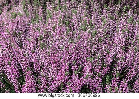 Blooming Wild Heather. Scandinavian Forest In Summer.