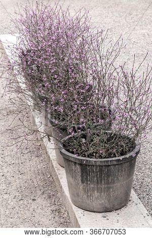 Big Pots With Purple Blooming Plants. Garden Center.