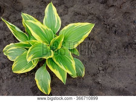 Hosta Is Genus Of Plants Commonly Known As Hostas, Plantain Lilies Or Giboshi.  Nature Background Im