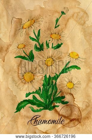 Chamomile Flower With Magic Seal On Old Paper Texture Background. Witch Healing Herbs Collection For