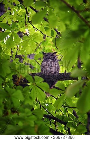 Owl Closeup, Great Horned Owl, Bubo Virginianus In A Chestnut Tree With Big Eyes Blinking And Winkin