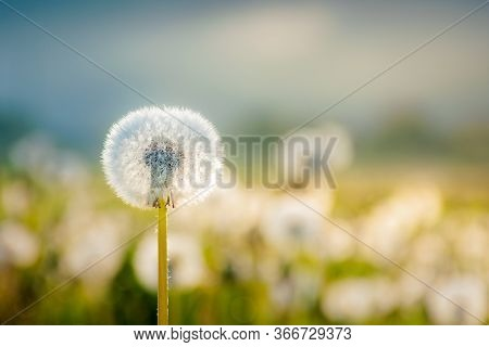 Field Of Dandelion In Morning Light. Beautiful Nature Scenery With Fluffy Flowers On The Meadow In S