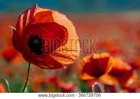 Red Poppy Bloom On Meadow In Evening Light. Wonderful Nature Background In Summer Landscape