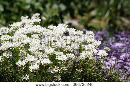 A Grouping Of Lovely White Spring Flowers Soaking Up The Sun With Luscious Colored Lavender Flowers