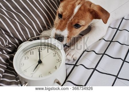 Jack Russell Terrier Dog Nibbles Vintage Alarm Clock In The Bed. Wake Up And Morning Concept