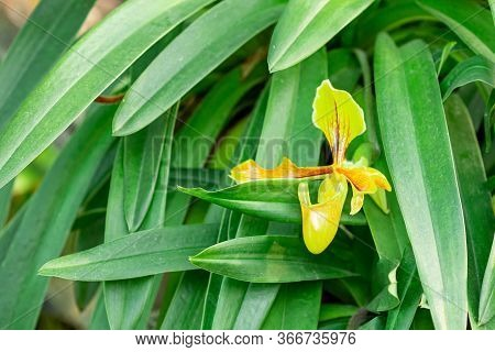 Paphiopedilum Orchids, Lady's Slipper With Green Leaves Found In The Country Which Has Hot Weather S