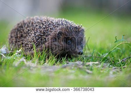 Hedgehog In Green Grass. Wildlife Scene From Nature