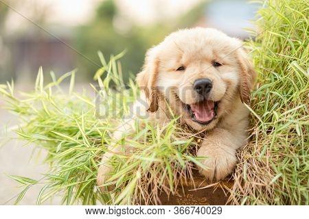 Cute Puppy (golden Retriever) Eating Small Bamboo Plants Or Thyrsostachys Siamensis Gamble In Garden