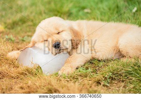 Cute Puppy (golden Retriever) Sleeping On The Ice Cube In The Garden. Animal In Summer Season Concep