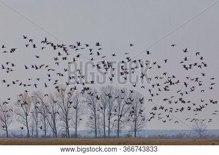 Flying Big Flock Of Greylag Goose (anser Anser) Over Misty Landscape, Bird Migration In The Hortobag
