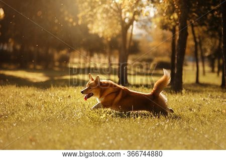 Dog On Nature In The Park. Welsh Corgi Pembroke. Pet For A Walk