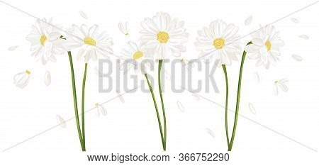 Realistic Chamomile Flower. Chamomile Isolated On White Background. Fragrant Bunch Chamomile. Flower