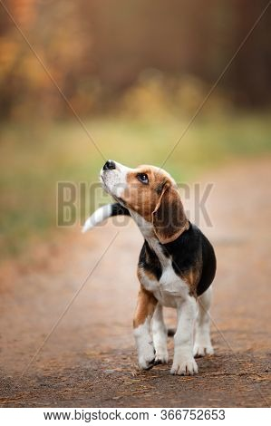 Dog On Nature In The Park.beagle Puppy. Pet For A Walk