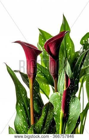 Red Calla Lilly Flower With Leaves On A White Background. Beautiful Flower In A Pot.