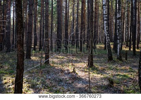 Background Image Of Spring Forest. Nature Comes To Life. Coniferous Forest. Trunks Of Trees. Mixed F