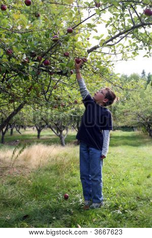 Young Boy Picking An Apple From A Tree