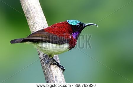 The Crimson-backed Sun Bird Or Small Sun Bird Is A Sun Bird Endemic To The Western Ghats Of India. L