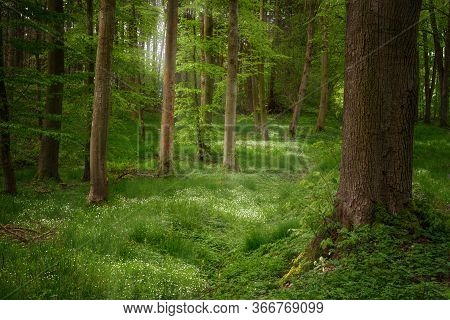 Tree Trunks In A Mixed Coniferous Forest With White Flowering Ground Cover Plants And Sunlight From