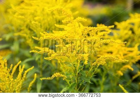 Yellow Goldenrod Flowers (solidago Canadensis) Natural Background