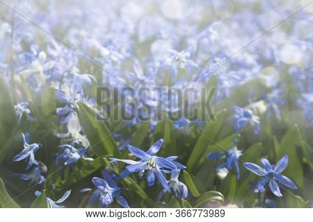 Blue Flowers In The Sunlight On A Blurred Background. Natural Screensaver